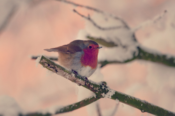 Christmas Robin, Oxford Island