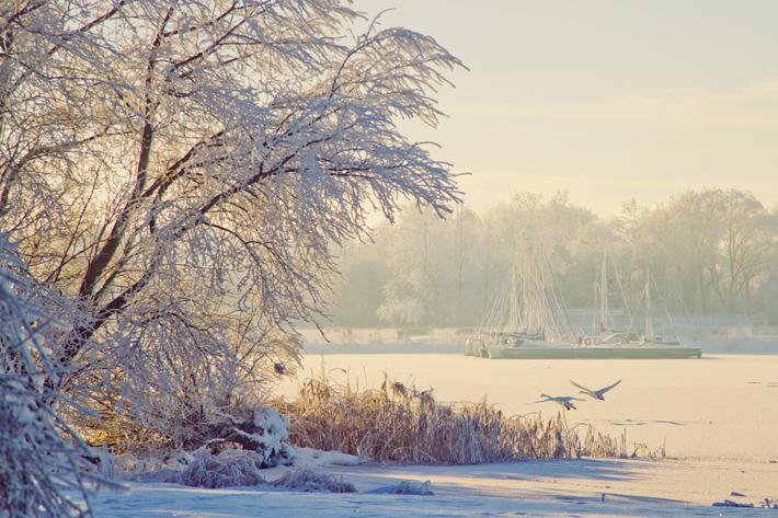Winter Swans Lough Neagh